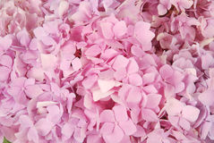 Pink hydrangea macrophylla Stock Photos