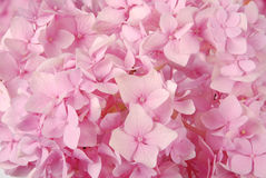 Pink hydrangea macrophylla Royalty Free Stock Image