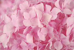 Pink hydrangea macrophylla Royalty Free Stock Images
