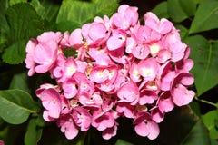 Pink hydrangea macrophylla Stock Images