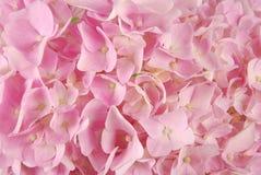 Pink hydrangea macrophyllous Royalty Free Stock Image