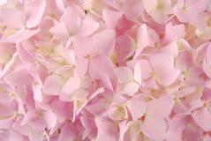 Pink hydrangea macrophyllous Royalty Free Stock Photography