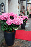 Pink hydrangea. In a pot royalty free stock photography