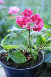 Pink hydrangea in a pot Stock Photography