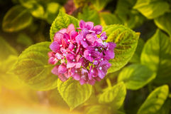 Pink hydrangea, top view Stock Photography