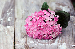Pink hydrangea. On a white background stock image