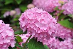 Pink Hydrangeas. Beautiful pink hydrangeas in full bloom in the garden Royalty Free Stock Photos