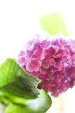 Pink hydrangeas. Blossoming branch of pink hydrangeas Royalty Free Stock Image