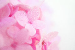 Pink hydrangeas in blur style on mulberry paper texture Stock Photography