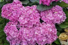 Pink hydrangeas flowers close-up, hydrangea macrophylla, hortensia, popular ornamental plants, grown for their large stock photography