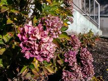 Pink rhodededrons in fall. Pink hydrangeas in a garden in front of a set of stairs Stock Photos