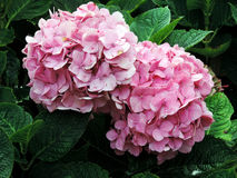The pink hydrangeas. On the green background Stock Image