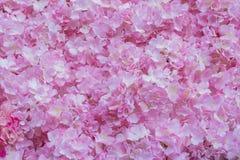 Pink hydrangeas Stock Image