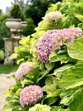 Pink hydrangeas royalty free stock images