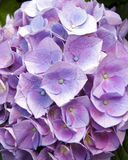 Pink hydrangeas Royalty Free Stock Photo