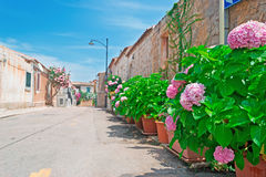 Pink hydrangeas by the street Royalty Free Stock Photo