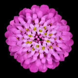 Pink Iberis Flower Head Isolated on Black Stock Image