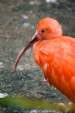 Pink ibis royalty free stock images