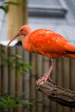 Pink ibis Stock Photos