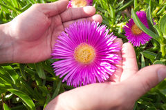Pink Ice plant Royalty Free Stock Photography