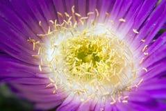 Pink ice plant carpobrotus edulis Stock Photos