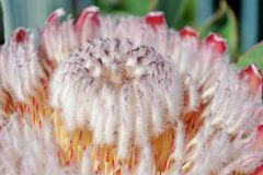 Pink Ice Protea Stock Photography