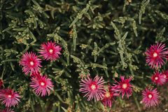 Pink iceplant flower or Hardy Ice Plant bright purple flowers on flowerbed. In the garden stock image