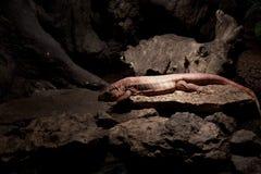 Pink iguana Stock Image