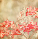 Pink Impala Lily Royalty Free Stock Photo