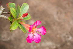 Pink  Impala Lily. Royalty Free Stock Images