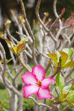 Pink impala lily Royalty Free Stock Photos