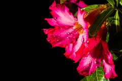 Pink impala lily Stock Images
