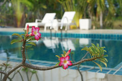 Pink impala lily flower on  blur  swimming pool Royalty Free Stock Photo