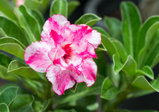 Pink Impala Lily flower Stock Images