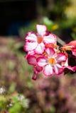 Pink an impala lily Stock Image