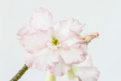 Pink Impala Lily Royalty Free Stock Photography