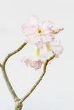 Pink Impala Lily Royalty Free Stock Photo