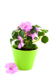 Pink impatiens Royalty Free Stock Image