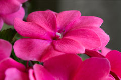 Pink impatiens flower Stock Photos