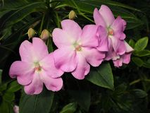 Pink impatiens flowers and buds with green leaves. Delicate pink impatiens flowers in full bloom with green leaves and buds stock photography