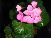 Pink Impatiens Flowers After a Rain Royalty Free Stock Photo