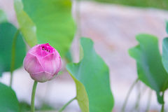 Pink Indian lotus with green leaf background, lotus is logo of s Royalty Free Stock Photos