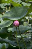 pink indian water lily bud Stock Image