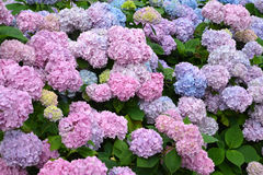 Pink inflorescences of a hydrangea Hydrangea L. close up Royalty Free Stock Photography