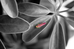 Pink insect. Exotic colored insect on black and white picture Royalty Free Stock Photography