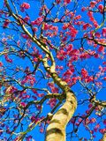 Pink Ipê tree in bloom royalty free stock photography