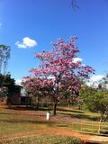 Pink ipe tree. (trumpet tree) in the zoo of Brasília with blue sky. (Tabebuia rosea, Family Bignoniaceae, common name Pink trumpet, Rosy trumpet, Pink Poui royalty free stock photography
