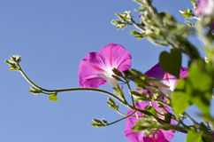 Pink Ipomoea Royalty Free Stock Images