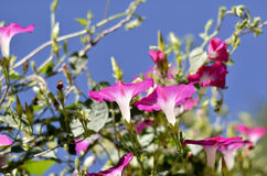 Pink Ipomoea Stock Photography