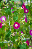 Pink ipomoea. In the garden stock image